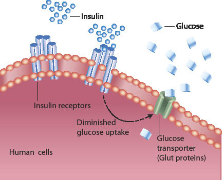 Diagram Of How Insulin Works Wiring Diagram Electricity Basics 101